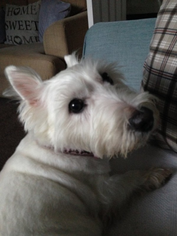 How do you find free Westies to adopt?