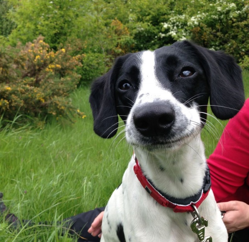 LENNY – Beautiful young Springer cross ...